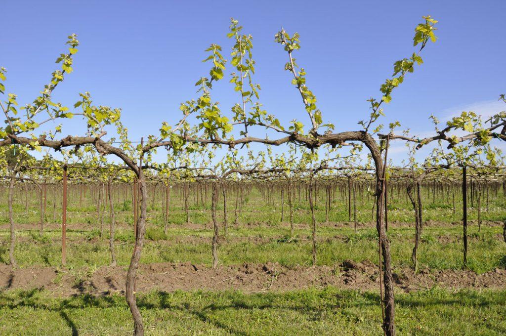 Vineyard blooming